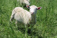 A Finnish Dorset is a crossed_breed sheep, half Finnsheep, and half Dorset breed.