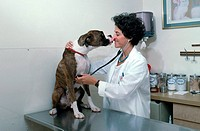 A vet uses a stethoscope while examining a boxer.