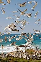 Gulls feeding (Cantabria - Spain)