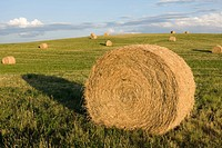 Great Prairie of Round Hay Bales in a Field, Canada