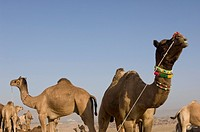 Herd of camels in a fair, Pushkar Camel Fair, Pushkar, Rajasthan, India