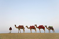 Man with camels in a row, Thar Desert, Jaisalmer, Rajasthan, India