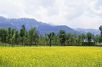 High angle view of a mustard field, Jammu And Kashmir, India