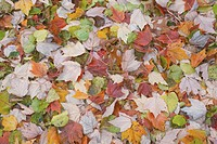 Colorful autumn leaves covering ground