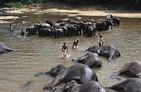 Elephants bathing in Ma Oya River, Pinnawela, Sri Lanka