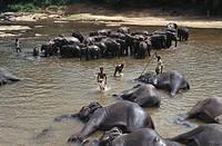 Elephants bathing in Ma Oya River, Pinnawela, Sri Lanka