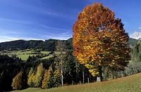 Beech in autumn colours, Hachau, Dachstein range, Salzburg, Austria