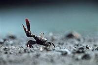 Fiddler Crab waving, Caroni Swamps, Trinidad, Caribbean