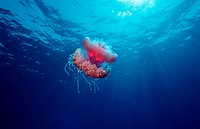 Crown jellyfish, Netrostoma setouchina, Egypt, Africa, Sinai, Ras Mohammed, Red Sea