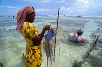 Two women getting calamari from the sea, Zanzibar, Tanzania, Africa