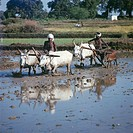 India - Farmers in rice-fields using traditional methods