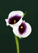 purple white Zantedeschia, calla lily, Zantedeschia Aethiopica