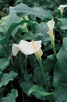 Botany - Araceae. Calla lily (Zantedeschia aethiopica)