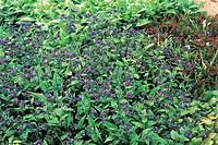 Botany - Boraginaceae. Bethlehem lungwort Hightdown (Pulmonaria saccharata)