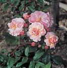 Botany - Rosaceae. Classic Roses. Hybrid musk Cornelia Rose.
