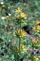 Botany - Gentianaceae. Great Yellow gentian (Gentiana lutea)
