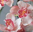 Botany - Orchidaceae. Cymbidium
