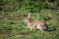 European Rabbits, Oryctolagus cuniculus,