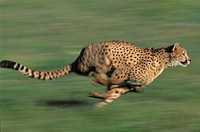 CHEETAH Acinonyx jubatus running in captivity