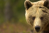 European brown bear Ursos arctos male at the edge of a boreal forest in late evening light. Finland