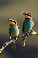 Couple of Bee-eater (Merops apiaster)