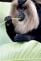 Lion Tailed Macaque  Macaca silenus