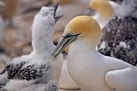 New Zealand, north_island, Hawkes Bay, bird_colony, Australian dolts, Morus serrator, young, Cape kidnappers, colony, wild_animals, animals, birds, do...