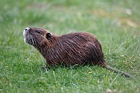 Nutria, Myocastor coypus, meadow