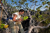 Collecting insects. Entomologist capturing insects from a tree using a pooter. The rock behind him is tsingy limestone, also known as karst, which was...