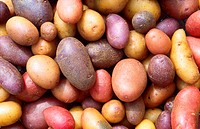 Potatoes. Close_up of an assortment of potato Solanum tuberosum varieties.