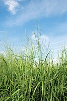 Switchgrass Panicum virgatum plants. Switchgrass is being investigated as a source of ethanol for use as a biofuel. Ethanol is produced from plant res...