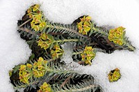 Cyprus spurge Euphorbia veneris in snow. Spurge plants are well adapted to arid climates as they possess a milky latex in the stems and leaves that re...