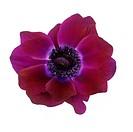 Anemone flower Anemone sp.