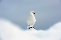 Snowy Sheathbill, Antarctica, Chionis alba