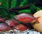 Australian Rainbowfish, Melanotaenia spec.