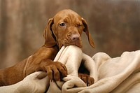 Magyar Vizsla, puppy, 11 weeks, with blanket, Hungarian Pointer