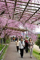 Japanese women walking along a path beside the Kamogawa river that has cherry blossoms overhanging it in north central Kyoto city