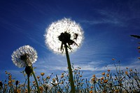 blowball, flower, farmland, aue, outside, blue, flowers