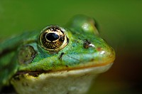 Details, animal, detail, close-up, animals, amphibian (thumbnail)