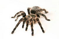 close_up, animals, CLOSE, black, araneae, alfred