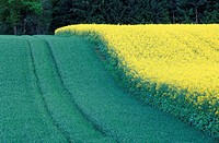 colza, austria, canola field, calf, burgenland, energy, agriculture