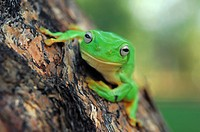 Frog, animal, eye, baumfrosch, Australia, green, amphibian (thumbnail)