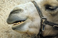 fun, Bactrian camel, enclosure, camel, calf, funny, animal