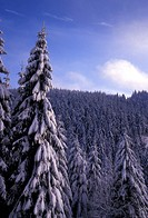 blue, cold, conifer, coniferae, day, forest