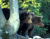 arctos, bears, bear, animals