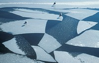 floe, aves, day, cold, bird, animals
