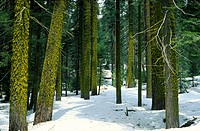 Baume, below, claudia, cold, conifer forest, forest (thumbnail)