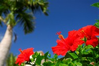 Hibiscus (thumbnail)