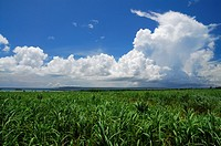 Cloud and cane field