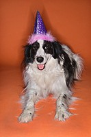 Black and white Border Collie mix dog wearing party hat